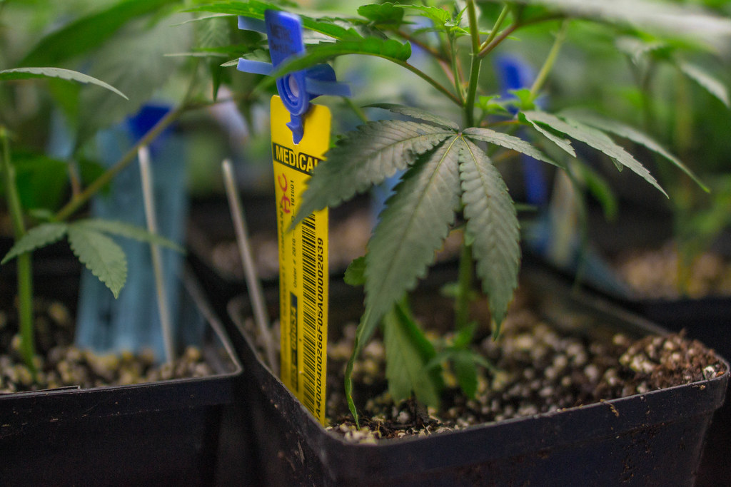 What Are Cannabis-Derived Terpenes? Why Are They Used?